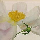Фотограф Ирвинг Пенн (Irving Penn) — Цветы (Flowers) — Натюрморт (Still life)