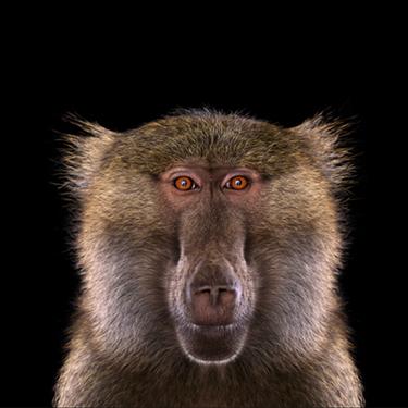 Бабуин - Портреты животных - Фотограф Брэд Уилсон (Brad Wilson)