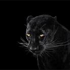 Пантера - Портреты животных - Фотограф Брэд Уилсон (Brad Wilson)