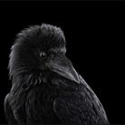 Ворон - Портреты животных - Фотограф Брэд Уилсон (Brad Wilson)