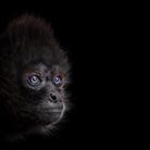 Паукообразная обезьяна - Портреты животных - Фотограф Брэд Уилсон (Brad Wilson)
