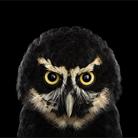 Сова - Портреты животных - Фотограф Брэд Уилсон (Brad Wilson)