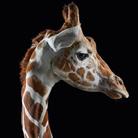 Жираф - Портреты животных - Фотограф Брэд Уилсон (Brad Wilson)