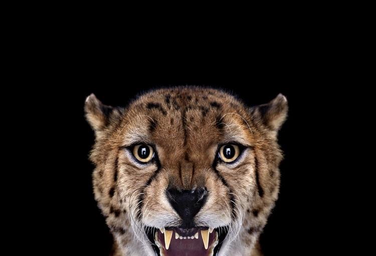 Гепард - Портреты животных - Фотограф Брэд Уилсон (Brad Wilson)