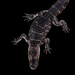 Аллигатор - Портреты животных - Фотограф Брэд Уилсон (Brad Wilson)