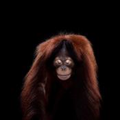 Орангутан - Портреты животных - Фотограф Брэд Уилсон (Brad Wilson)