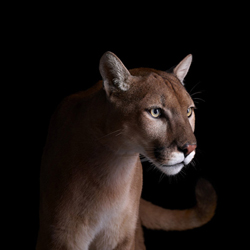 Пума - Портреты животных - Фотограф Брэд Уилсон (Brad Wilson)